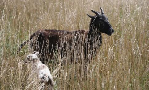 Cabras, ovejas, llamas y burros limpiarán el aeropuerto O'Hare