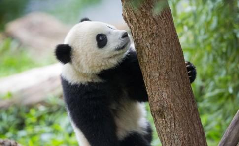 Un panda travieso