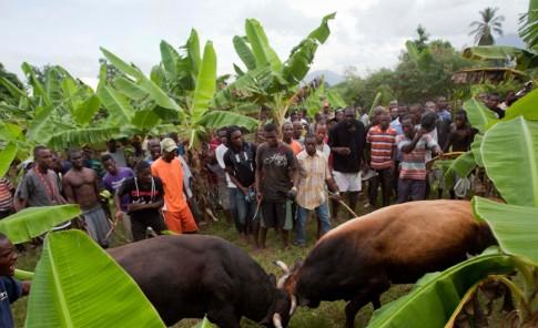 Los haitianos ven en las inusuales  peleas de toros una oportunidad de ganar un dinero extra.