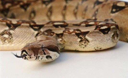 Entre las especies que buscan prohibir su venta y posesión figuran la boa constrictor, la pitón, la anaconda, la tortuga snapper,  los cocodrilos, los escorpiones y los lagartos.