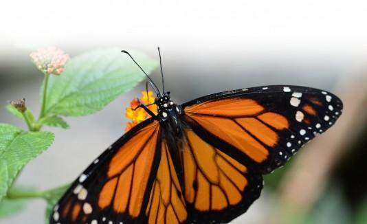 desaparecen mariposas