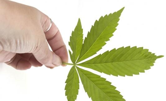 Pese a su recién legalización, aún no hay ninguna plantación de marihuana industrial amparada por la ley ni se consigue en la calle.