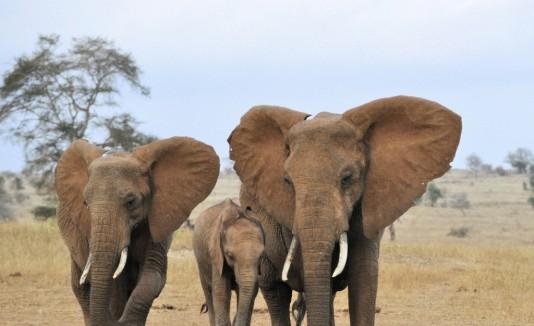 Se estima que en toda África, quedan 500 mil elefantes.