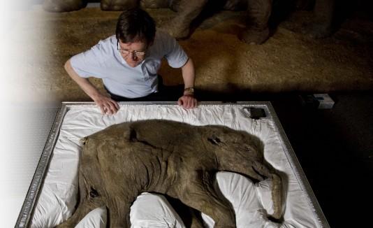 El investigador  Adrian Lister observa a Lyuba,  el mamut más joven.