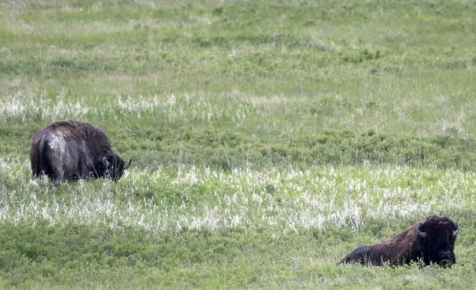 Después del periodo de adaptación, los bisontes vivirán en libertad.