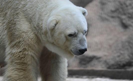 Arturo el oso polar