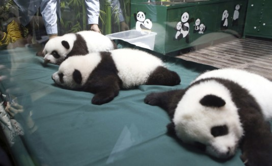 Pandas trillizos