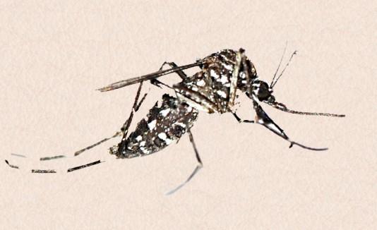Siguen experimentando contra el chikunguña