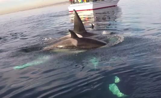 Orcas nadando alrededor de Rich.
