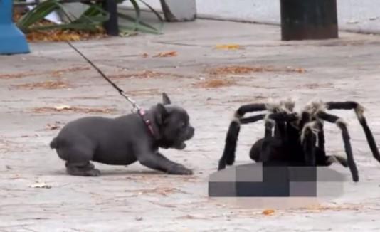 Perrito ladrándole a la araña gigante.