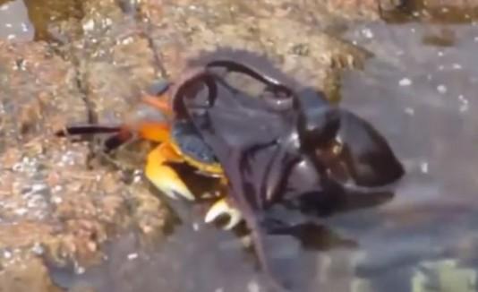Pulpo atacando al cangrejo