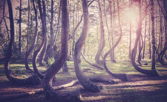 Crooked forest, Polonia