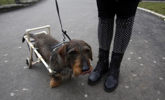 Perro en una silla de ruedas.