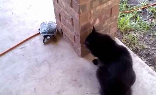 Gato y tortuga