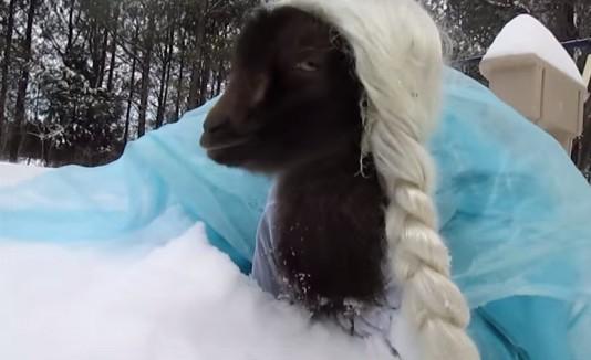 Cabra vestida de Elsa en la nieve