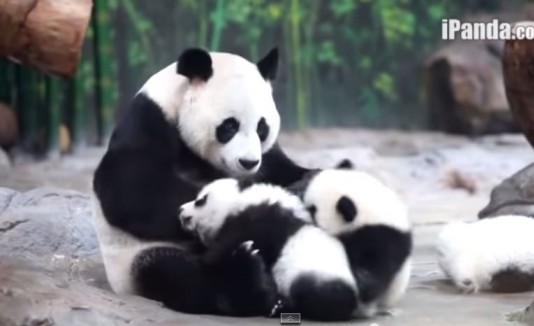 Pandas trillizos y su madre.
