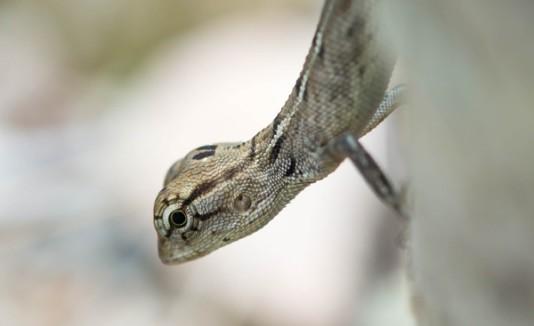 Salamandra