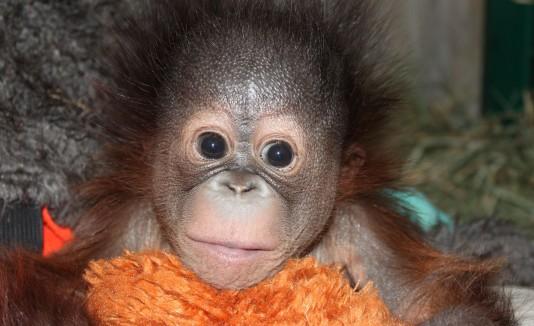 Orangután bebé del zoo de Utah.