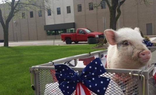 Giggles the Pig for Flint Mayor