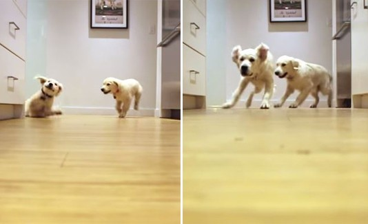 Crecimiento de dos perros en nueve meses