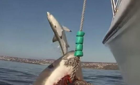 """Tiburón """"volador"""""""