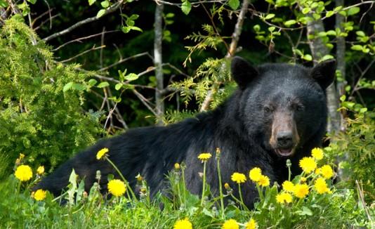 Stephen Vouch fue atacado por un oso negro.