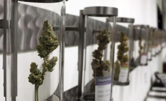 Marihuana / Cannabis