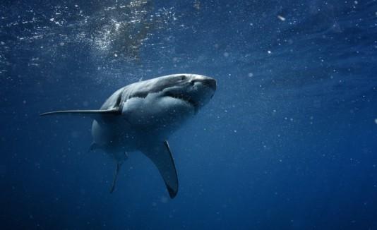 Tiburón en el mar