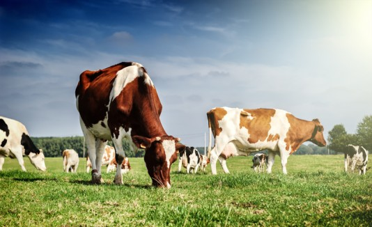 Vacas en un campo.