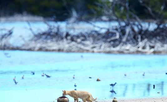 Estudios demostraron que la industria de la sal es favorable para el hábitat del Playero, pues en sus lagunas salitrales se producen gran cantidad de microorganismos.