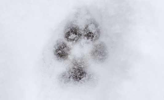 Perro, Nieve, Huella