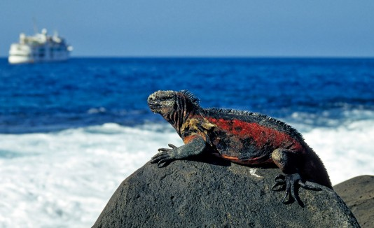 Iguanas en isla Fernandina, Galápagos