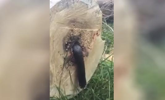 YouTube: Hombre corta árbol y lo que encontró fue sorprendente