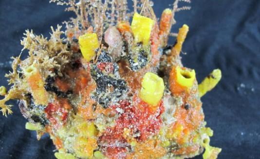 Coral en boca del río Amazonas
