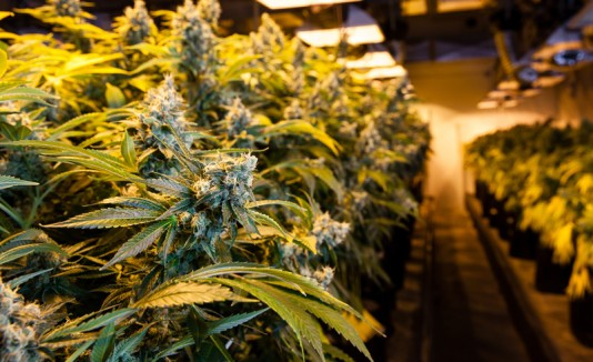 Cannabis o marihuana