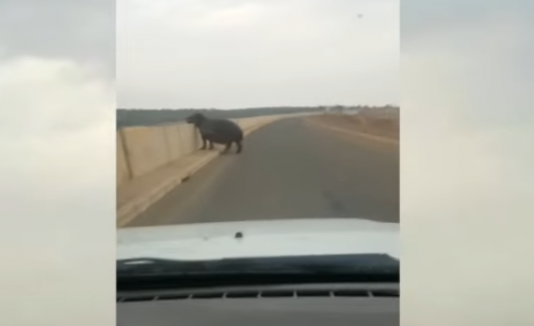Hipopótamo ataca carro