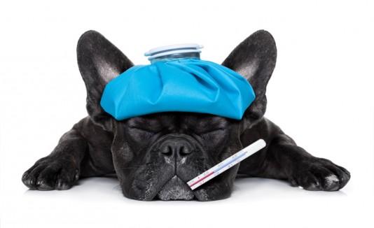 Perro enfermo, mascotas