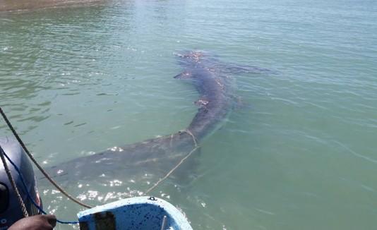 Tiburón en Combate