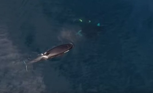 Orcas cazando tiburón
