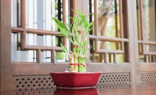 Bamboo, planta