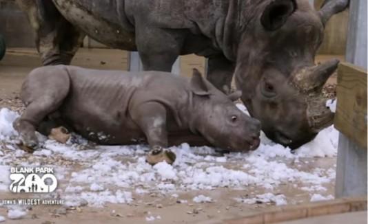 Rinoceronte descubre la nieve