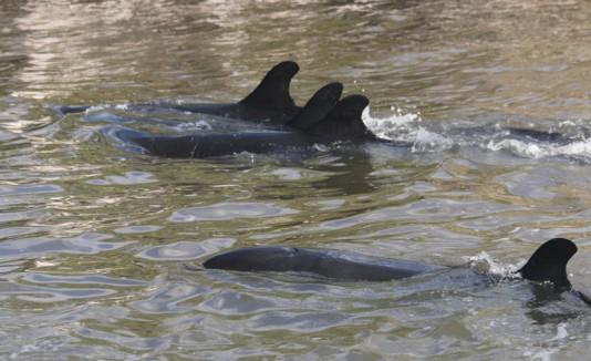 Orcas muertas en Florida