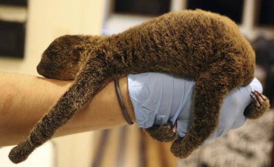 Nace perezoso en zoológico de Mississippi