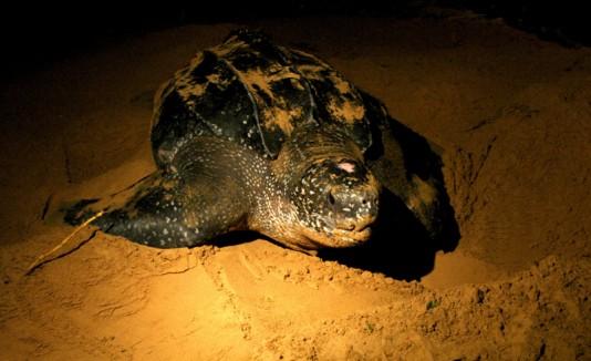 Anidación de tortugas