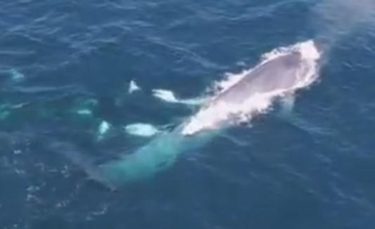 Orcas y ballena