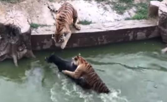 Tigres hambrientos