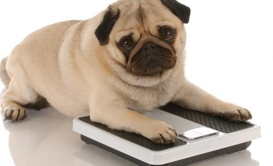 Perro gordo