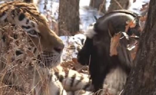 Tigre y cabra