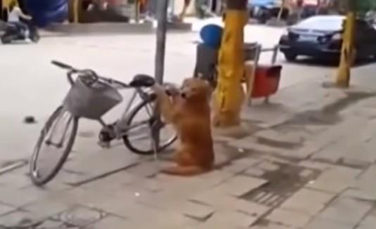 Perro cuida la bicicleta de su amo
