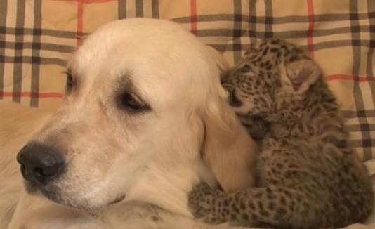 Labrador y leopardo